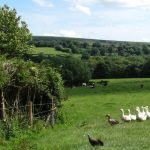 Heathergate geese and cows