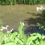 Heathergate geese on the lake